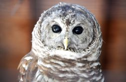 barred-owl