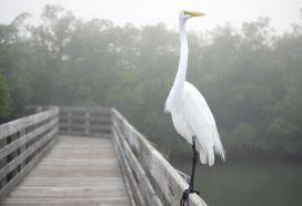 florida-egret