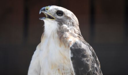 florida-hawk