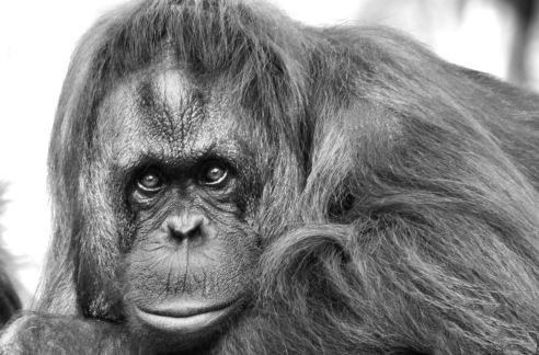 orangutan-conservation